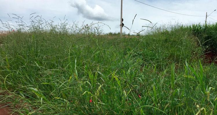 Fiscalização de mato alto em terrenos é intensificada